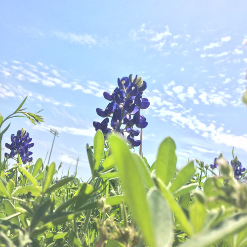 Bluebonnet_FirstPres_5564_web