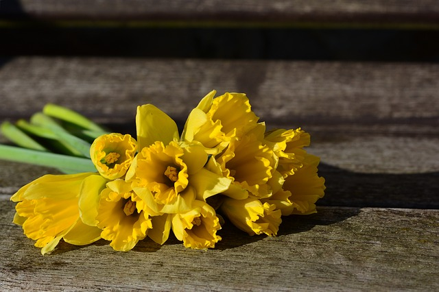 daffodils-3152611_640